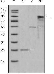 GTX83096 - Myeloperoxidase