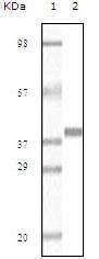 GTX83147 - Myoglobin