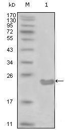 GTX83175 - CD10 / Neprilysin