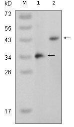 GTX83204 - MAP kinase p38 beta / MAPK11