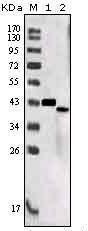 GTX83205 - Sortilin-related receptor (SORL1)