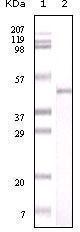 GTX83220 - Visfatin / NAMPT