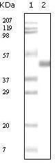 GTX83300 - Apolipoprotein A V / ApoA5