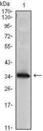 GTX83325 - NDP kinase A