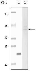 GTX83338 - Fibulin-5
