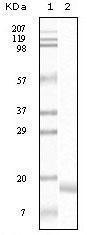 GTX83340 - Alpha-Synuclein / SNCA