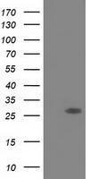 GTX83573 - Sepiapterin reductase / SPR