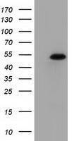 GTX83602 - Syntrophin-1 / SNTA1