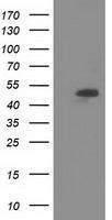 GTX83603 - Syntrophin-1 / SNTA1