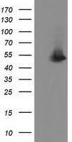GTX83604 - Syntrophin-1 / SNTA1