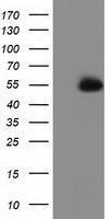 GTX83605 - Syntrophin-1 / SNTA1