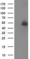 GTX83608 - Syntrophin-1 / SNTA1