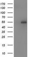 GTX83609 - Syntrophin-1 / SNTA1