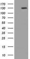GTX83789 - Protogenin / PRTG