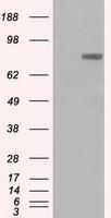 GTX83793 - Prominin-2 / PROM2
