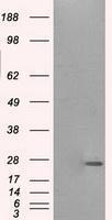GTX83798 - Prolactin / PRL