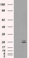 GTX83803 - Prolactin / PRL
