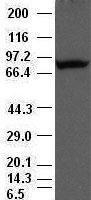 GTX83851 - Periostin