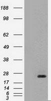 GTX83982 - Neurotrophin 4 / NTF4