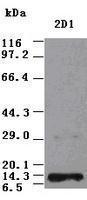 GTX83985 - Neurotrophin 3 / NTF3