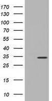 GTX84108 - Inositol oxygenase