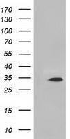GTX84112 - Inositol oxygenase