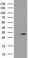 GTX84115 - Inositol oxygenase
