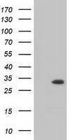 GTX84117 - Inositol oxygenase