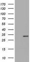 GTX84119 - Inositol oxygenase