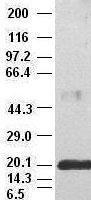 GTX84293 - Interleukin-6 / IL6