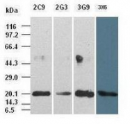 GTX84294 - Interleukin-6 / IL6
