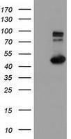 GTX84312 - HIP1-interacting protein