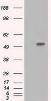 GTX84313 - HIP1-interacting protein