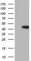 GTX84348 - Haptoglobin