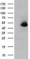 GTX84350 - Haptoglobin
