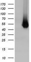 GTX84351 - Haptoglobin