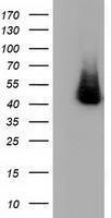GTX84353 - Haptoglobin