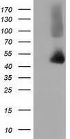 GTX84355 - Haptoglobin