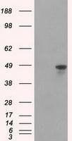 GTX84356 - hnRNP-F / HNRNPF