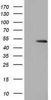 GTX84406 - Glutathione synthetase