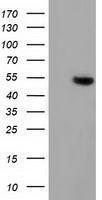 GTX84407 - Glutathione synthetase