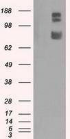 GTX84411 - GRIP1-associated protein 1