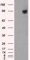 GTX84412 - GRIP1-associated protein 1