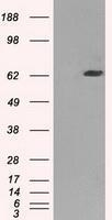 GTX84443 - GTP-binding protein 2 / GBP2