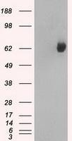 GTX84445 - GTP-binding protein 2 / GBP2