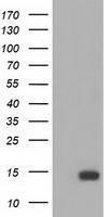 GTX84471 - Follicle-stimulating hormone / FSH