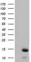 GTX84472 - Follicle-stimulating hormone / FSH