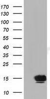 GTX84473 - Follicle-stimulating hormone / FSH