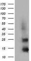 GTX84474 - Follicle-stimulating hormone / FSH