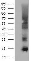 GTX84475 - Follicle-stimulating hormone / FSH